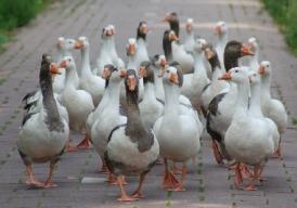 De lessen van de ganzen