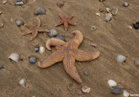 Zeesterren op het droge
